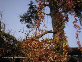 Pád muže ze stromu ul. Jánského