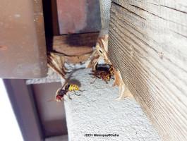 Likvidace bodavého hmyzu Černošice