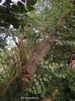 Prasklý strom nad chatou osada Vírek